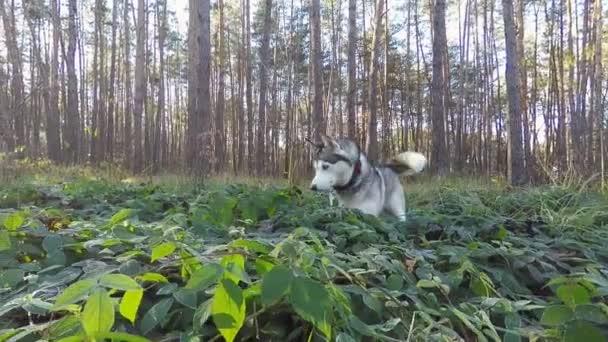 Szibériai Husky vadászik, kis rágcsálók az őszi erdő