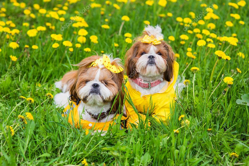 Cute little dog sitting among yellow flowers in yellow overalls with bows in green grass in the park. Outdoors.