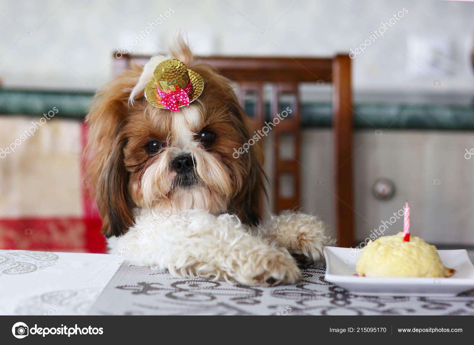 Grappige Shih Tzu Verjaardag Hond Met Taart Hoed Huis Schot