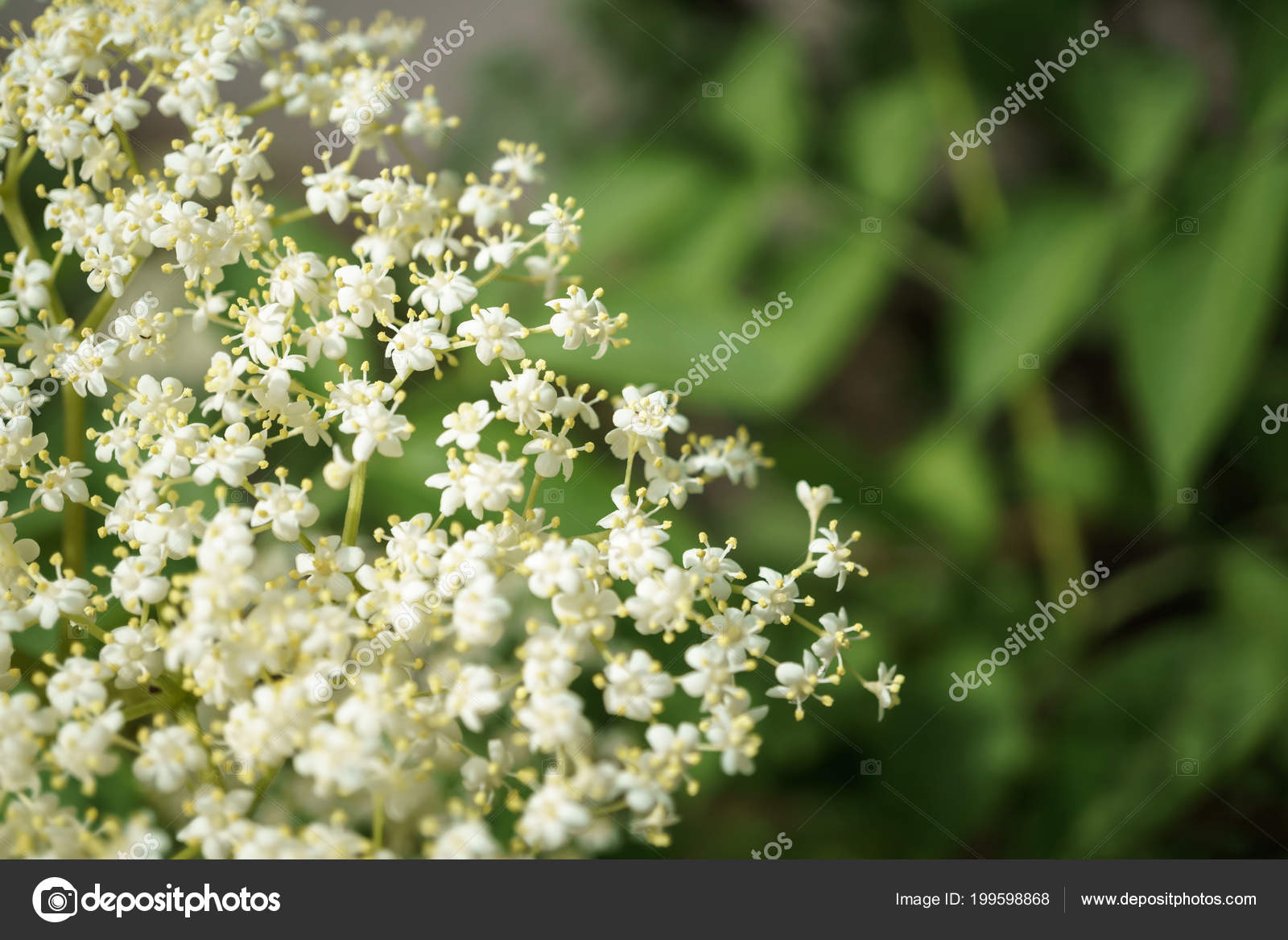 Black Elderberries Flowers Close Macro Photography Different Angles Use Selective Focus In For Dummies Stock Photo