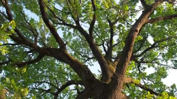A large green oak tree, leaves swaying in the wind. the camera moves from bottom to top
