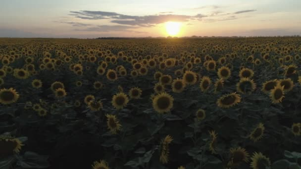 Aerial  shot. Sunflowers field. Fly at low altitude. Sunset. 4K.
