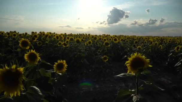 Gimbal shot. Moving forward through sunflowers field. 4K