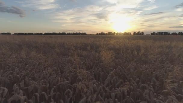 Letecký záběr. Suché zlaté pšeničné pole. Čas západu slunce