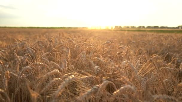 Dolly shot. Dry golden wheat field. Ears of wheat. Sunset.