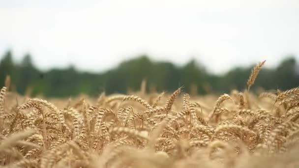 Suché pšeničné pole. Uši pšenice. Denní.