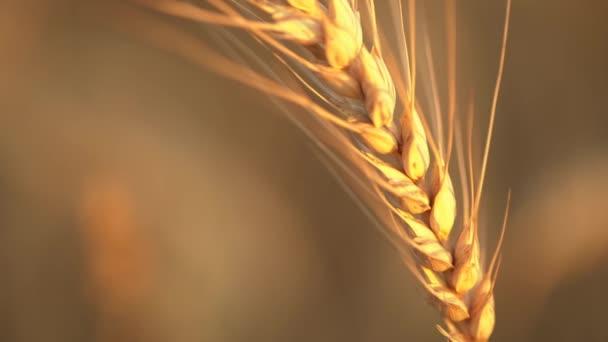 Detailní záběr organického žlutého zralého pšeničného ucha. Západ slunce.