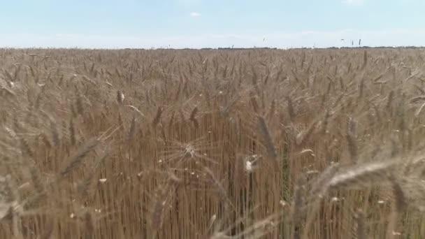 Záběry z dronu. Létání v nízké výšce nad suchým zlatým pšeničným polem