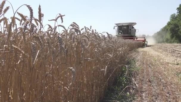 Zemědělské práce. Kombinovat sklízeč sbírá pšeničné plodiny.
