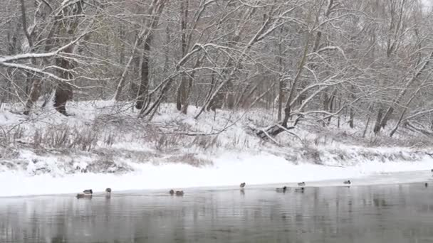 ducks winter on thin ice on a winter river.