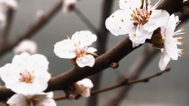na jaře kvetla Meruňka. nádherné Bílé květiny na větvi
