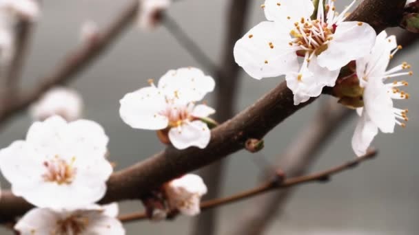 spring bloomed apricot. beautiful white flowers on a branch