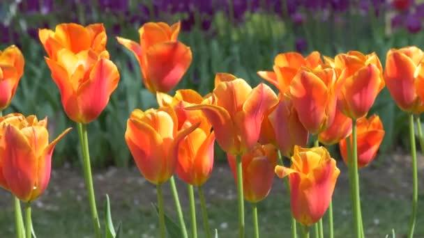 mnoho jasných nádherných tulipány na lůžku parku Gomel, Bělorusko