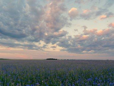 cornflower field at sunset blue beautiful flowers