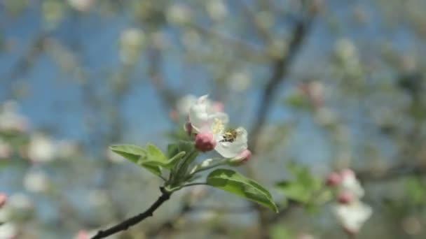 Včela letí nad pramenem Kvetoucí strom apple za slunečného dne