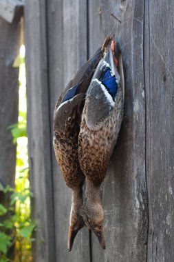 hunting trophy - two shot ducks hanging on the barn wall