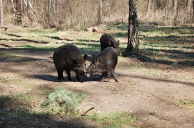 Wild pigs are walking through the forest.