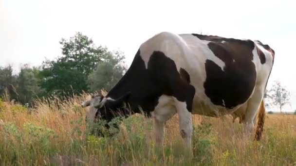 Closeup of the cow grazing the fresh grass in the countryside