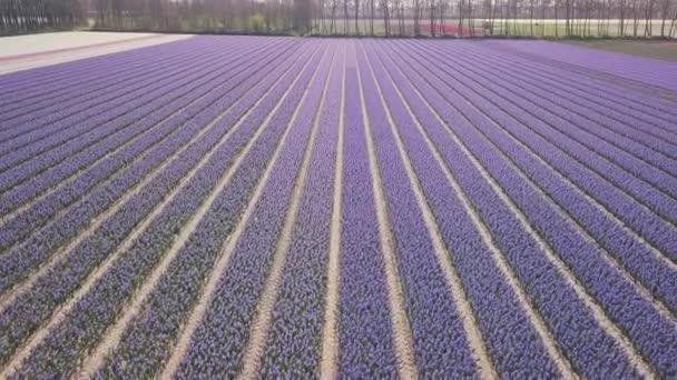DRONY letět přes fialové hyacint pole v Nizozemsku