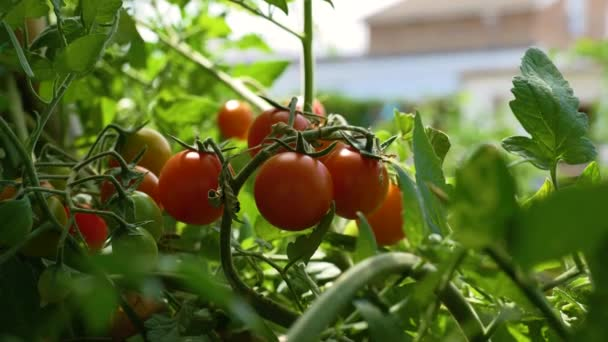 Szene von Kirschtomaten auf Sonnenzweig im Garten mit Zuckerrohr angebaut und kurz vor der Ernte