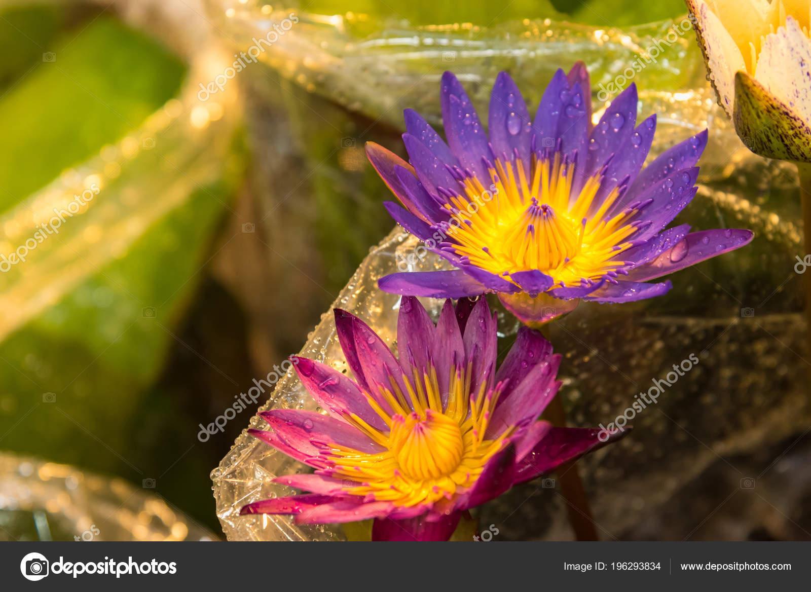 Beautiful Lotus Flower Symbol Buddha Thailand Stock Photo