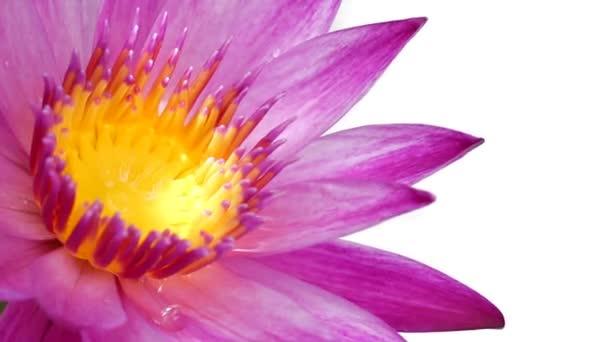 Lotosový květ na izolované bílém pozadí