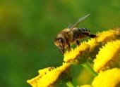 Včela opyluje Květy žluté včely
