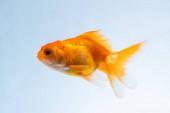 Arany hal vagy aranyhal úszó víz alatti úszás a friss Aqua