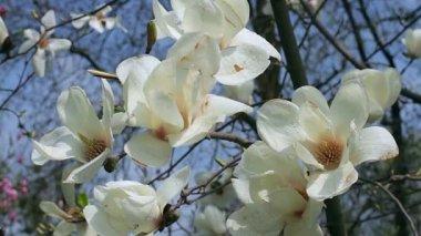 Magnolia tree stock videos royalty free magnolia tree footages white magnolia flowers flowers white magnolia white magnolia white magnolia stock video mightylinksfo