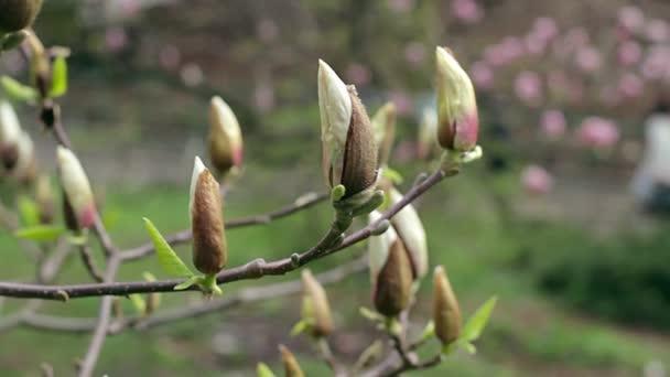 bílá magnolia bud, květy bílé magnolia, bílá magnolia, bílé květy Magnolie na větev stromu, magnolie strom květ, bílá magnolia květy floral přirozeného pozadí