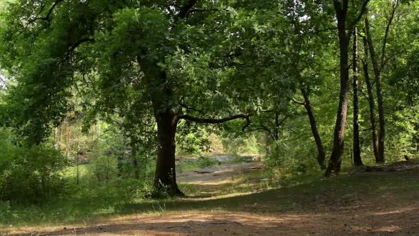 Dub ve zlatém slunečním světle v lese nebo parku, dub, glade, slunce svítí skrze větve, dub houpací jeho listí ve větru, duby v přírodní pozadí řádku