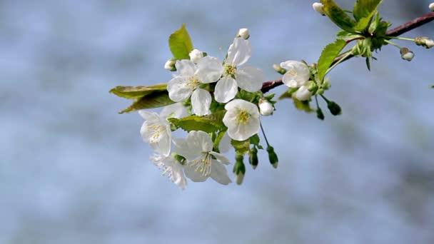 Apple blossom blízko, zblízka z jabloňové květy v kvetoucí jabloň, pobočka jabloni, plody rostlin, duben kvetoucí, květy bílé apple