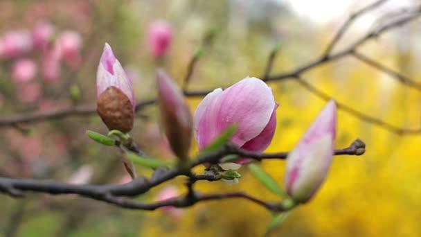 Rosa na růžové magnólie květiny, květiny růžové magnólie, růžové magnólie, růžové květy Magnolie na větev stromu, Guajakové Magnolia, magnolia bud