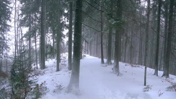 snow storm in the pine winter forest, blizzard in the forest, Forest Trees In Snowstorm, Snowing in a forest during the winter, snowstorm blizzard in the woods snowing winter, christmas tree and nature pine forest landscape
