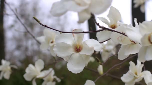 bílá magnolia květy, květy bílé magnolia, bílá magnolia, bílé květy Magnolie na větev stromu, magnolie strom květ