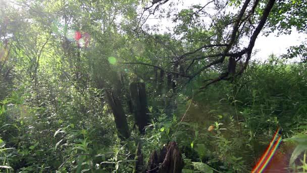 starý strom a sluneční záře, staré drsné strom v zářivě zelené louce, záři slunce proudící listy stromů, světlo, svítí do lesních stromů