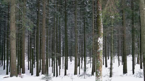 jehličnatého lesa v zimě, zimní borový les, textury zimní les, krásné zimní les, zimní jehličnatého lesa, sněží borovice lesní s zimní snow krajina krásný strom pozadí