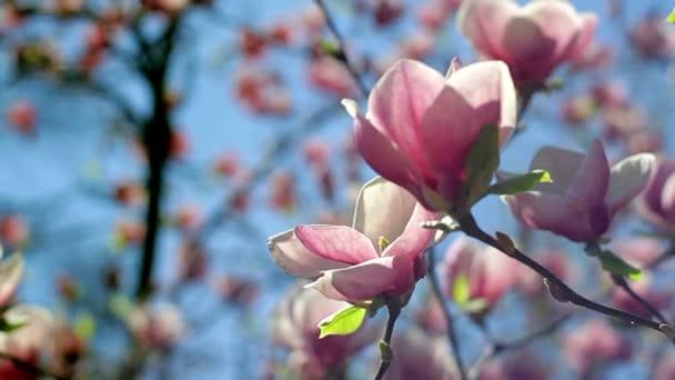 květy růžové magnólie, růžové magnólie, růžové květy Magnolie na větev stromu, Guajakové Magnolia, magnolia růžové květy na pozadí oblohy