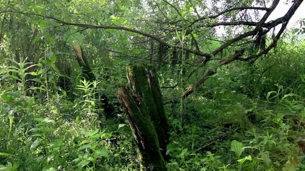 starý kmen stromu pokryté mechem, staré drsné strom v zářivě zelené louce, záři slunce proudící listy stromů, světlo, svítí do lesních stromů,