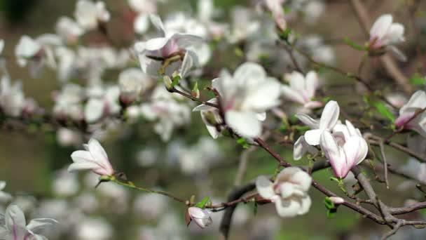květy bílé, bílé šácholan, bílé květy Magnolie na větev stromu, magnolie strom květ, bílá magnolia květy floral přirozeného pozadí