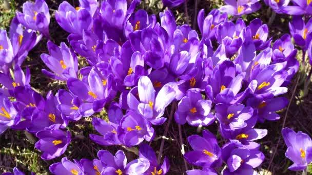 kvetoucí krokusy blízko, kvetoucí krokusy na mýtině, jarní kroje v Karpatech, pole divokých purpurového kroktu, krása divokých jarních květin šafrán kvetení na jaře,
