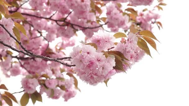 kvetoucí růžová Sakura, jarní květy Sakura, jarní kvetoucí pozadí, větve Sakura japonské třešně kvetoucí s růžovými květy a jemné okvětní pohupování ve větru