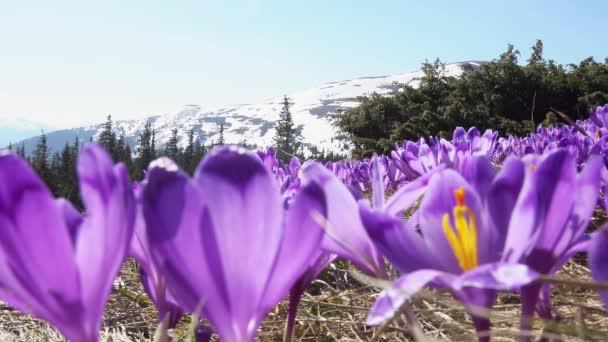 kvetoucí krokusy blízko, kvetoucí krokusy na mýtu, jarní krokusy v pohoří Karpaty, pole divokých fialových krokdos,