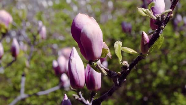 květy růžové magnólie, růžová magnólie, růžová Magnólie květy na větvi stromu, Magnólie květy stromů, magnólie bud