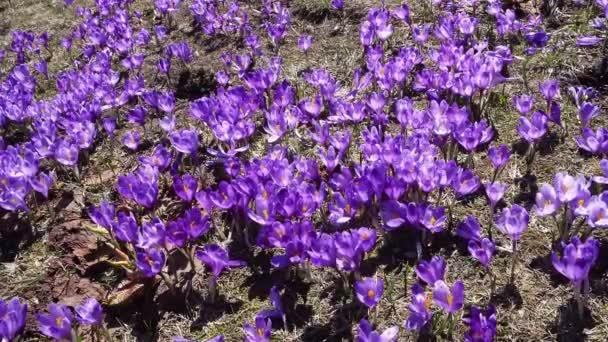 background of blooming crocuses, flowering crocuses close up, flowering crocuses on the glade, Spring crocuses in carpathia mountains, Field of wild purple crocuses