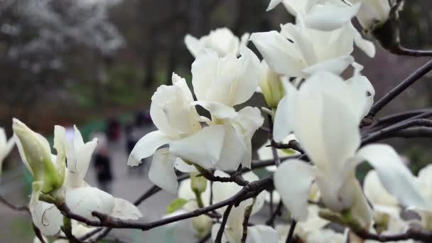 bílý šácholan květiny, květiny bílého magnolie, bílý šácholan, bílý šácholan květiny na větvi stromu, kvetoucí strom Magnolia