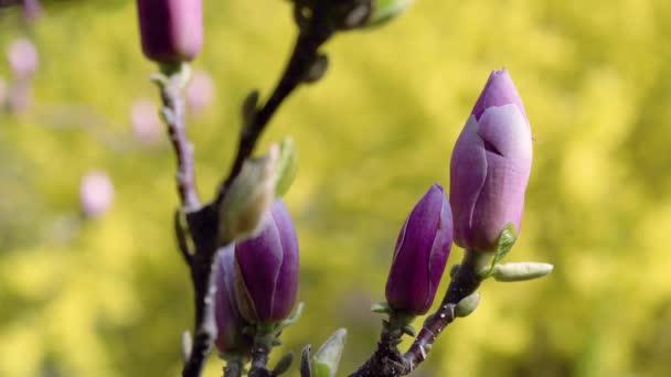 poupata Magnolie růžová