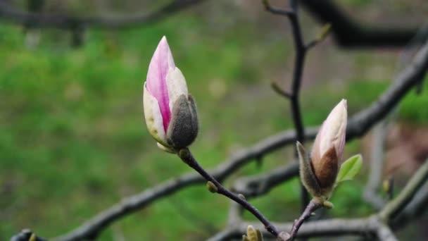 bud růžové magnólie, květy růžové magnólie, růžové magnólie, růžové květy Magnolie na větev stromu, Guajakové Magnolia, magnolia růžové květy na pozadí oblohy