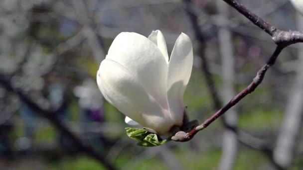 květiny bílého magnolie, bílý šácholan, bílý Magnolia květiny na větvi stromu, kvetoucí strom Magnolia,