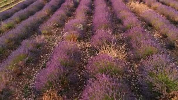 Pohled na Valensole Provence, Francie